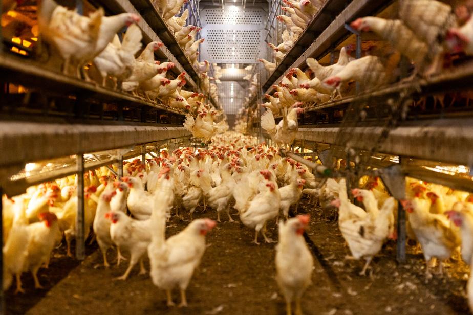 Et qui dit millions d'œufs, dit aussi beaucoup de poules!