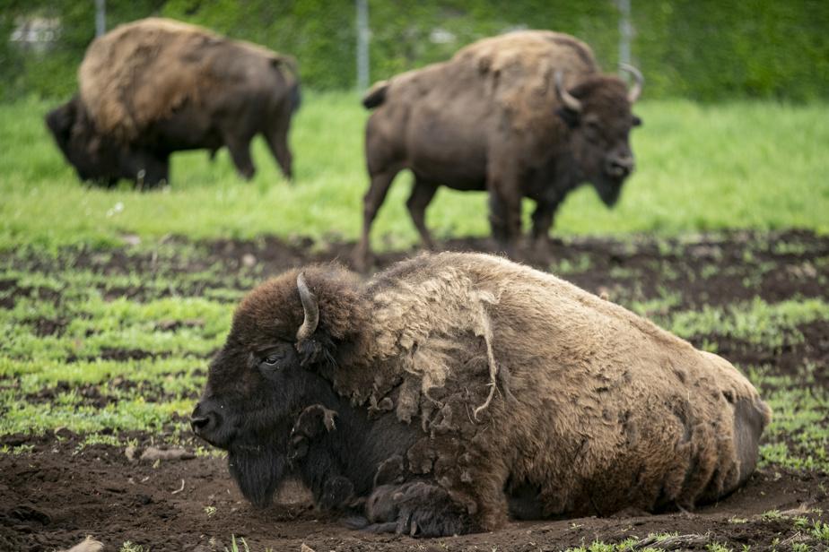 Séjour dans une Cool Box, les nouvelles mini maisons sur le site du parc Safari. Au parc Safari une grande partie de la visite se fait en voiture. Les bisons se reposent.