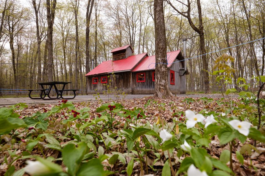 Pleine de charme, la cabane à sucre affiche une toiture et des fenêtres écarlates.