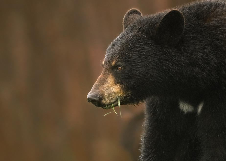 Une maman ours noir s'alimente de verdure fraîche lors d'un coucher de soleil en Gaspésie.