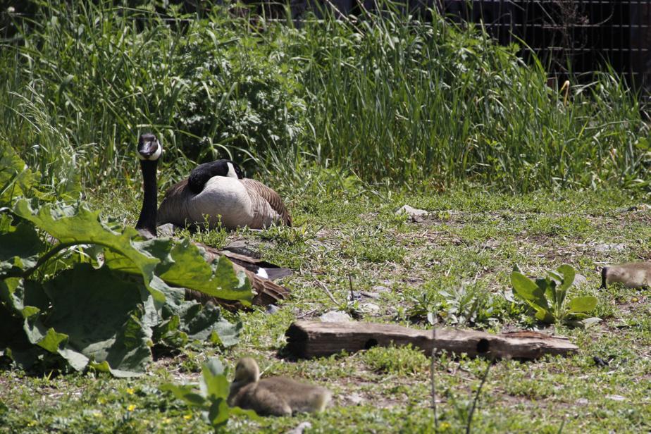 Une famille de bernaches se prélasse sur la berge du canal de Lachine.