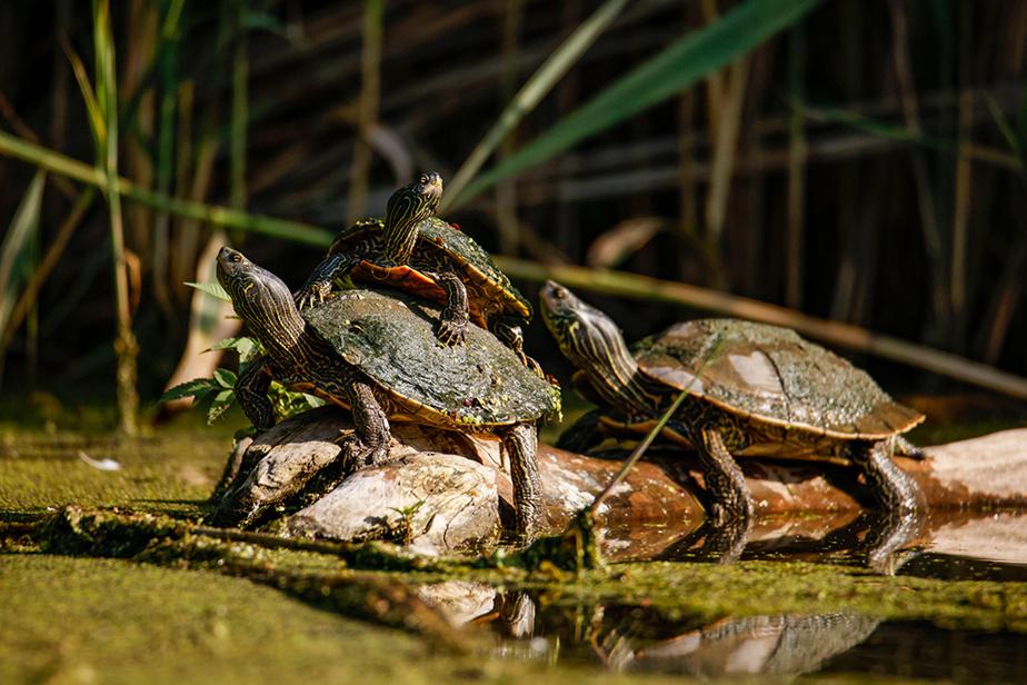 Des tortues s'offrent un bain de soleil sur la rivière Saint-Jacques, à Brossard.