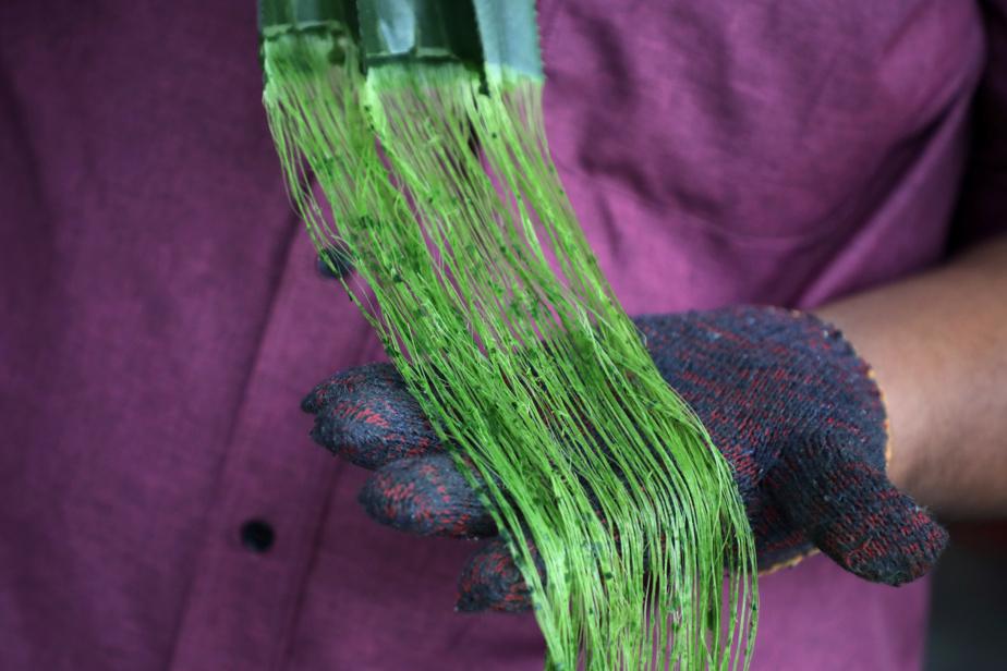 Les fibres issues des feuilles d'ananas seraient plus résistantes que les fibres synthétiques habituellement utilisées.