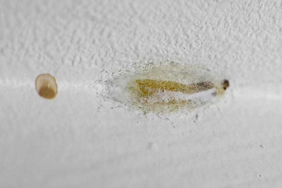 Un cocon de pyrale a été repéré par l'exterminateur au plafond.