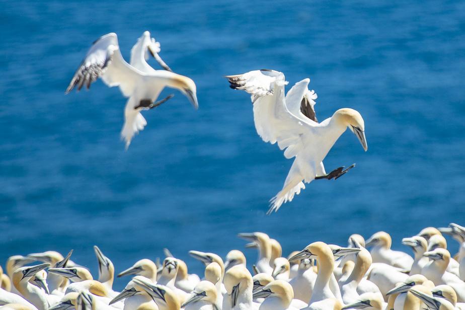 Il est possible de venir dans l'île observer les fous de Bassan jusqu'à la mi-octobre.