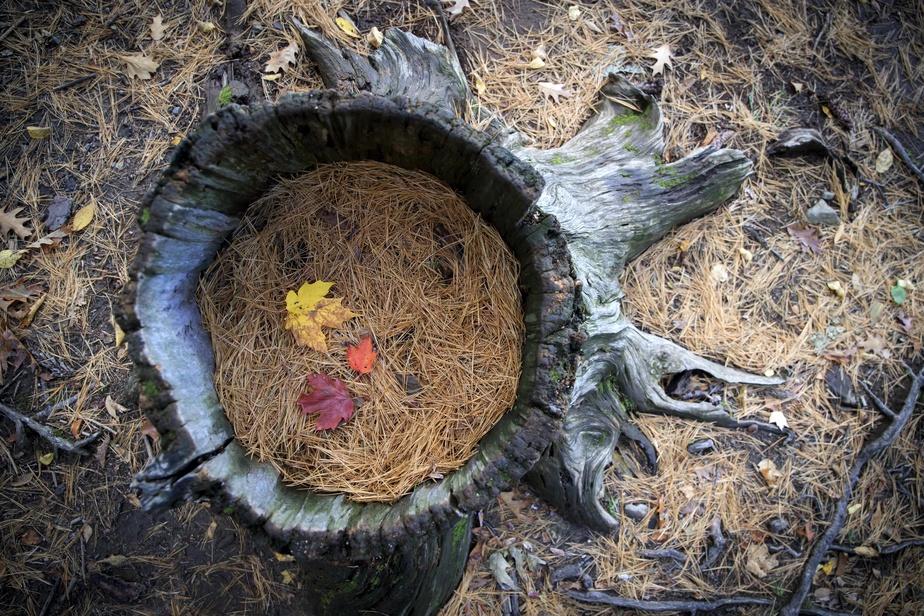 De jolies feuilles mortes se sont logées au fond d'une vieille souche d'arbre.