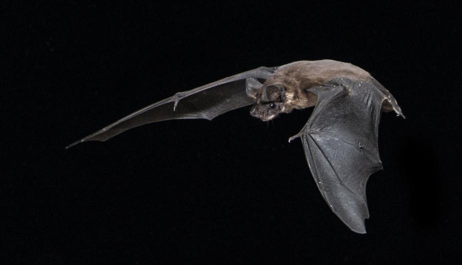 El murciélago Tadarida Brasiliensis, una especie que se encuentra en el Hogar lejos de casa.