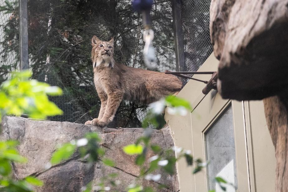 Le lynx jouit désormais d'un habitat plus grand où il peut assouvir ses envies de hauteur.