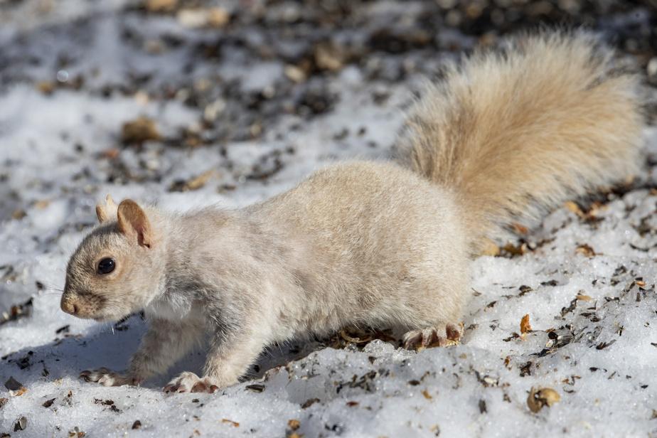 Un rare écureuil blanc se contente des graines qui tombent au sol.