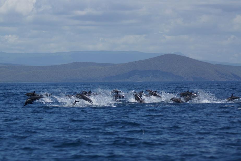La menace d'un tsunami a fait dévier la croisière à laquelle participait Pierre Vigeant aux îles Galapagos, dans le Pacifique. «Ce changement nous a fait croiser, par le plus grand des hasards, un banc de dauphins en chasse», relate le voyageur. Avec son appareil photo, il a pu capter ce phénomène assez rarement observé.