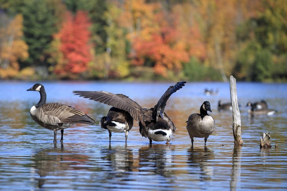 Par cette chaude journée automnale, les bernaches du Canada profitent d'un répit sur le lac Seigneurial avant leur grande envolée saisonnière vers le Sud.