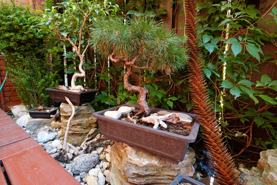 Les bonsaïs qu'Yvan Martin se plaît à modeler sont mis en valeur dans une section du jardin. Il a commencé à façonner le ficus (à l'arrière-plan) et le pin mugo à la naissance de ses enfants. Des pierres découvertes à différents endroits dans le monde sont disposées autour. On aperçoit aussi la branche d'un araucaria du Chili, rapportée récemment de l'île de Vancouver.