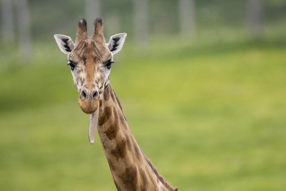 Séjour dans une Cool Box, les nouvelles mini maisons sur le site du parc Safari. On peut nourrir de girafes à partir d'une passerelle spéciale.