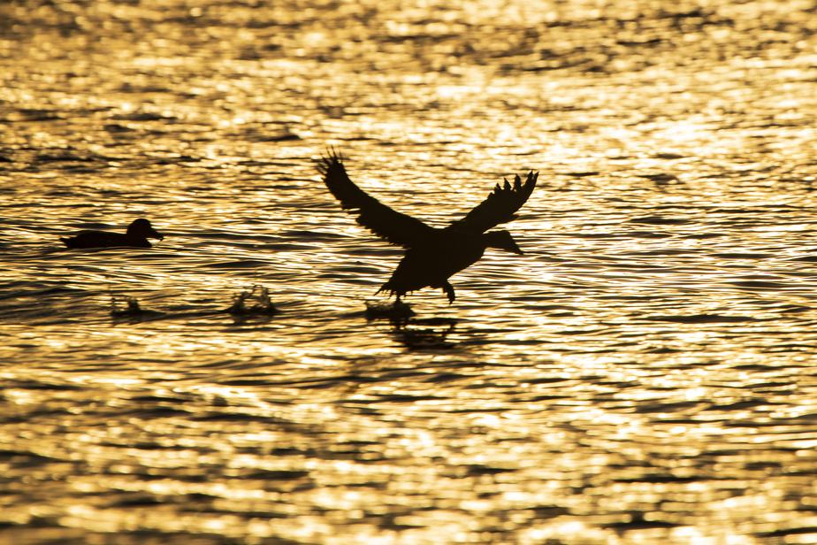 Un canard quitte la surface de l'eau et prend son envol.