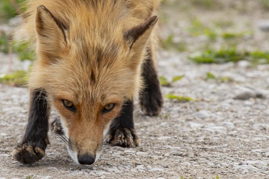 Les renards d'Anticosti sont des hybrides, issus d'un croisement entre le renard roux et le renard argenté.