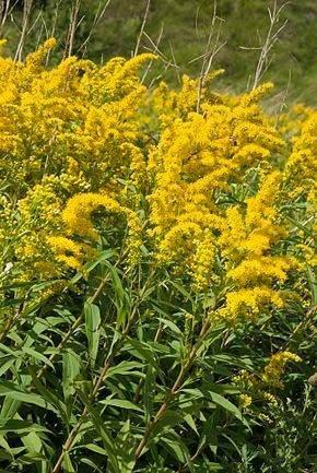 La verge d'or: quand ses tiges se garnissent de flamboyantes fleurs jaunes, la verge d'or offre une nourriture abondante. Le fait qu'elle fleurisse de juillet jusqu'à octobre est un atout important pour les abeilles qui pondent leurs œufs à l'automne et font leurs réserves de pollen pour nourrir les larves durant l'hiver.