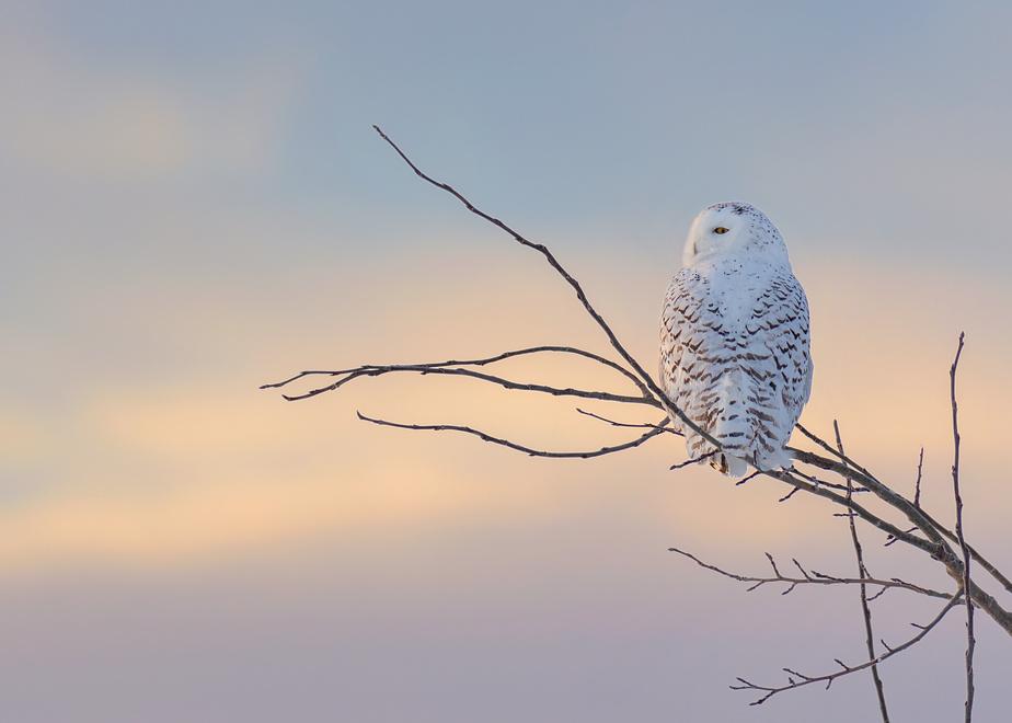 Les harfangs des neiges sont des oiseaux fantastiques à observer. Ici, une femelle lors d'un lever de soleil par une journée glaciale de février dans le Kamouraska.