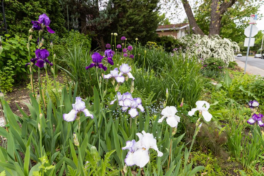 Les iris étaient en fleurs lors de la visite du photographe.