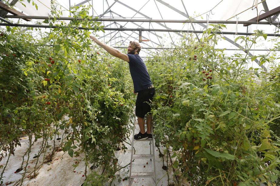 Richard Cosetti a demandé aux glaneurs de récolter les tomates, mais aussi d'arracher les plants, une tâche longue (surtout avec la fatigue de fin de saison!) et non profitable. «Je pourrais encore continuer trois semaines de récolte, mais j'aime mieux fermer trois semaines plus tôt et vivre ce moment-là. Tout le monde en profite», dit M.Cosetti, aussi propriétaire d'une entreprise de paniers de légumes. Perché sur son escabeau, Étienne Beauchemin (notre photo) s'est attribué le rôle de décrocher les plants.