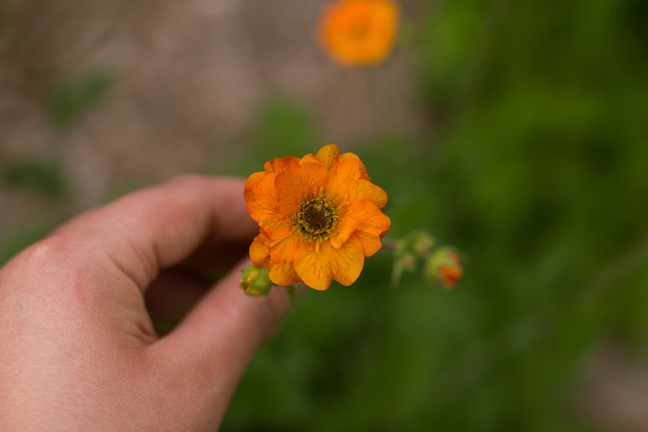 Benoîte: very small, it nevertheless sports bright colors and pretty stamens.  Delicate, she seems to dance in the wind.