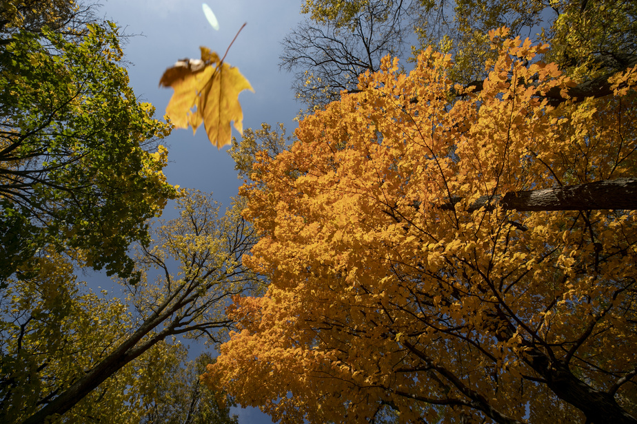 Les couleurs d'automne étaient particulièrement belles en fin d'après-midi il y a deux semaines. Couché sur le dos, le photographe n'a eu qu'à attendre que le vent se lève pour saisir cette feuille morte avant qu'elle ne touche le sol.