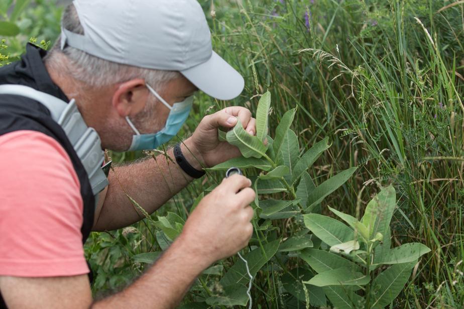 Au parc de l'Honorable-George-O'Reilly, à Verdun, l'animateur de La nature près de chez vous Roger Hajjar cherche des œufs de papillon sous les feuilles d'une plante.