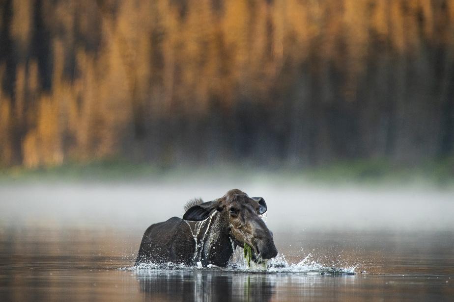 Au milieu du lac, au fond duquel elle déniche des herbes dont elle se régale.