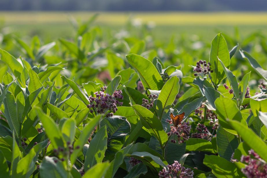 L'asclépiade est une plante indispensable au cycle de vie du monarque, puisque c'est la seule dont les chenilles se nourrissent.