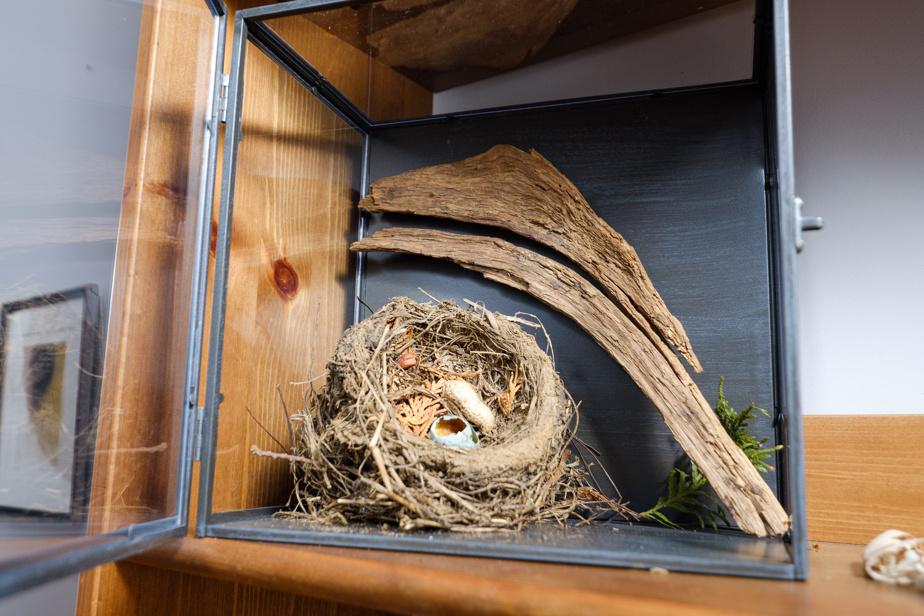 Karine Paradis et ses enfants trouvent parfois de petites choses simples de la nature, comme ce nid d'hirondelle avec un œuf éclos, déniché en déneigeant une haie. Oh, rien de foncièrement rare ou extraordinaire, mais le plaisir ne réside-t-il pas souvent dans la simplicité?