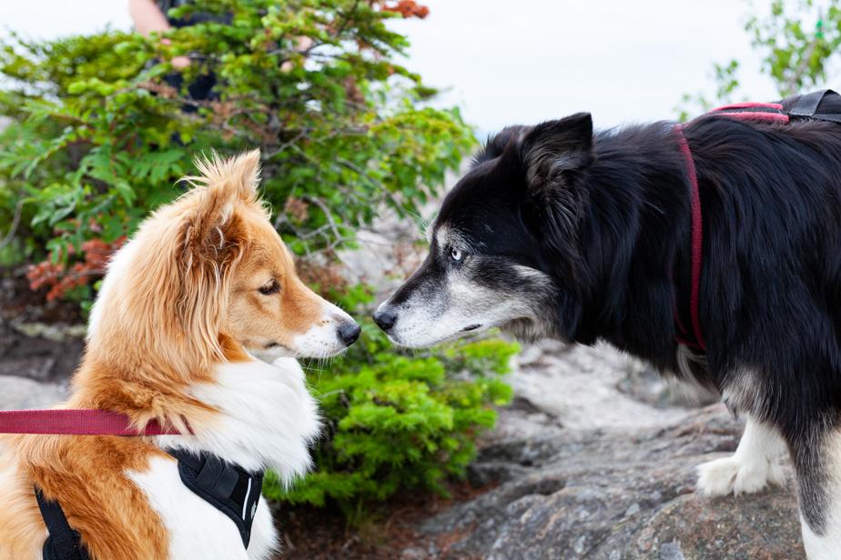 Rencontre au sommet entre Lillie-la-corgi et Yeux bleus, chien de traîneau à la retraite.