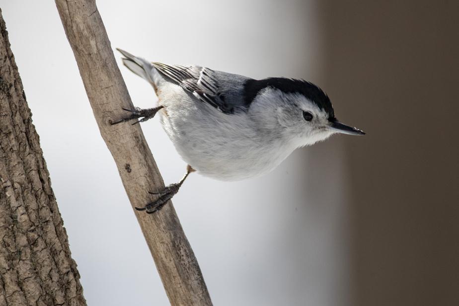 Les Amis de la montagne ont organisé un circuit pour observer les oiseaux d'hiver. Il suffit de faire le tour des mangeoires qui sont installées le long du chemin Olmsted. Une sittelle à poitrine blanche surveille les environs avant d'aller se nourrir.