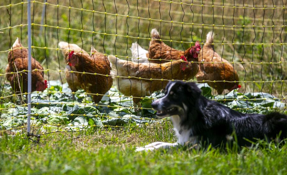 Des poules, bien gardées par un fidèle compagnon canin