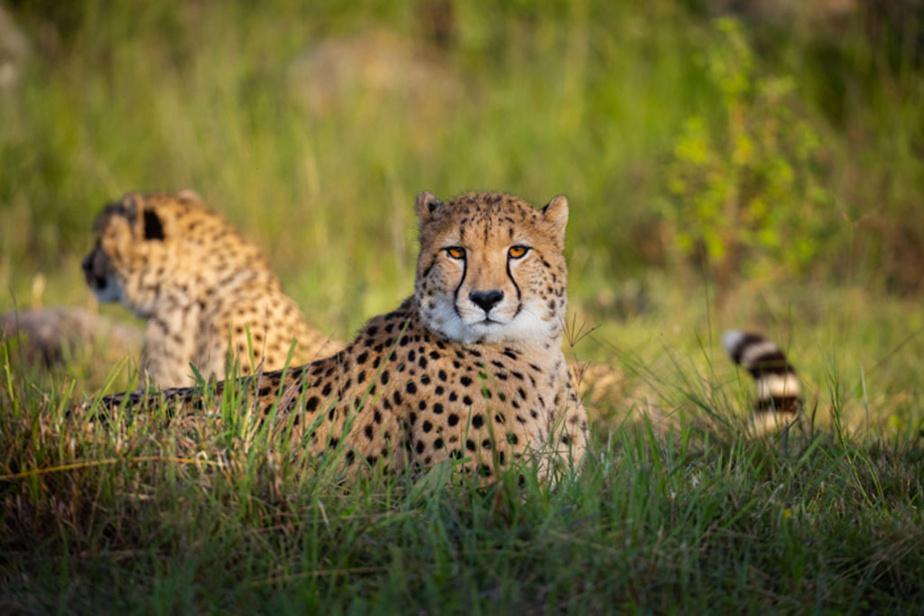 Le changement de décor est radical pour les deux mâles, qui ont bien grandi depuis 2019. La réintroduction vise à soutenir la reproduction des guépards en milieu naturel au Zimbabwe.