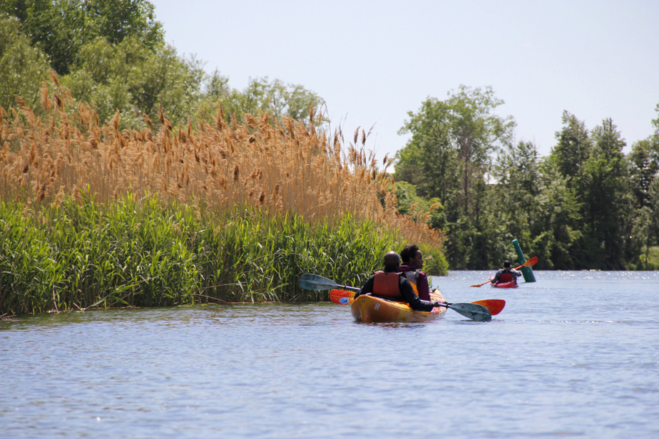 Il y a quelques endroits un peu plus sauvages sur le bord du canal. Des carouges à épaulettes ont élu domicile dans ces hautes herbes.