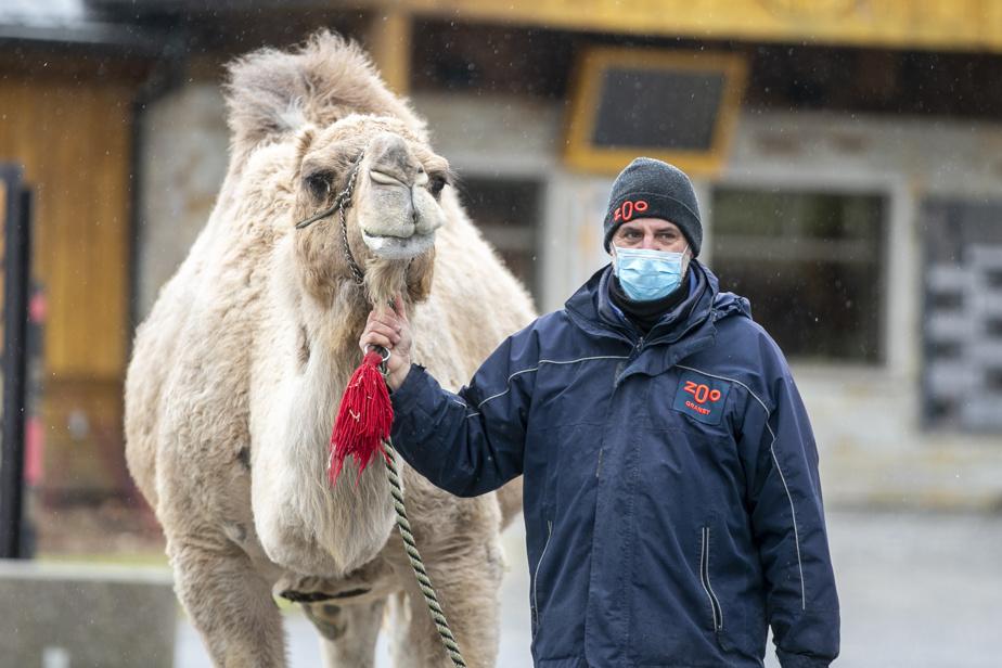 10 avril 2020. Fermeture temporaire du zoo de Granby. Réal Lamoureux, préposé aux soins animaliers, fait faire une promenade à Shawn le dromadaire.