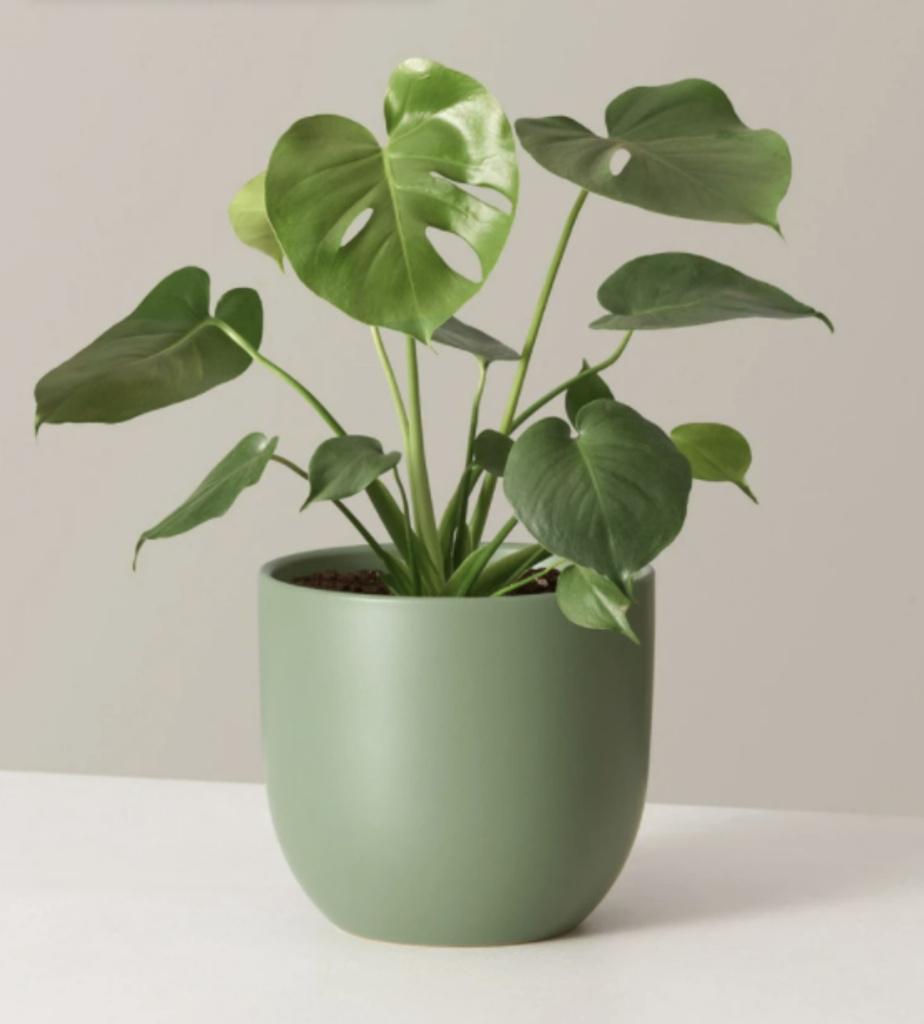 Cette plante aux grandes feuilles appelée Monstera n'a rien de monstrueux, bien au contraire. Elle injecte dans le décor une agréable touche tropicale. Elle a besoin de lumière, mais se contente d'un soleil indirect et d'un arrosage une à deux fois par semaine.