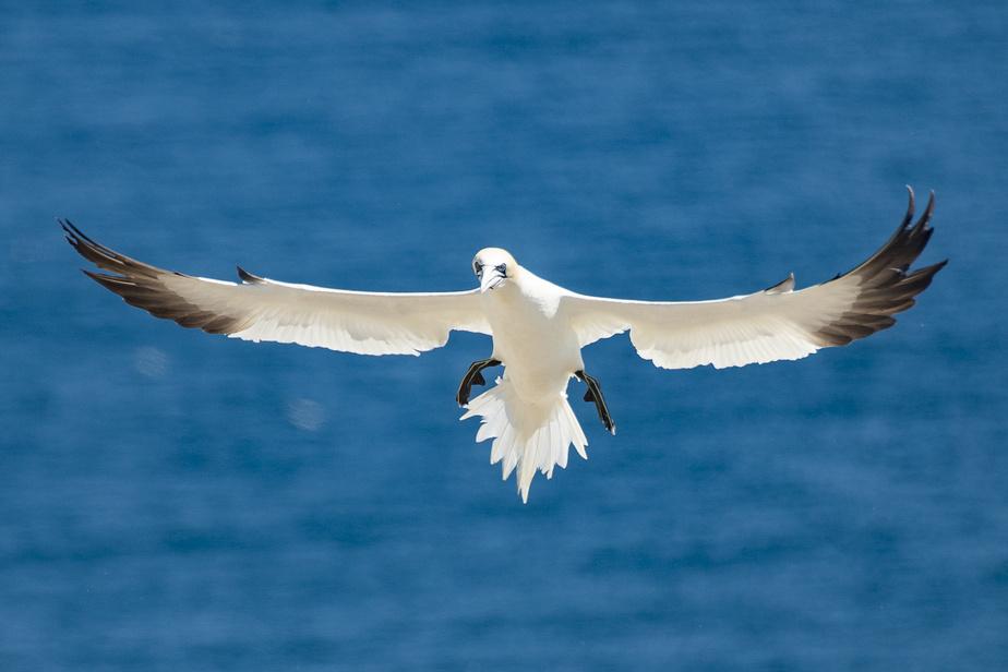 Le plus gros oiseau marin d'Amérique du Nord peut parcourir plus de 450km par jour, survolant l'océan à la recherche de petits poissons, comme le maquereau, dont il se nourrit.
