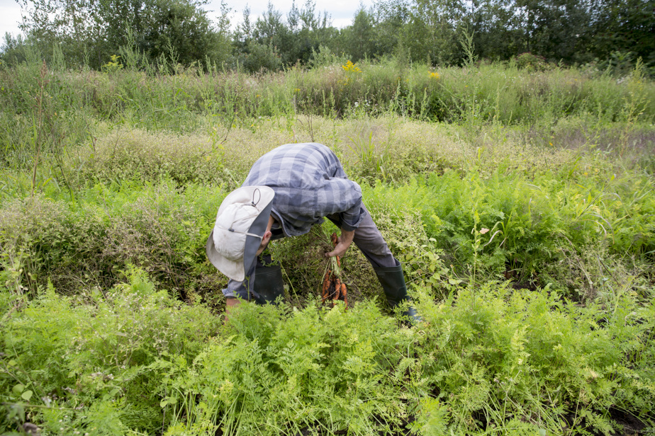 Bénévole à la ferme l'été dernier, Alexandre Gagnon a récolté des carottes dans un rang bordé par une parcelle en jachère (à l'arrière). Une grande diversité de plantes sauvages y a poussé spontanément: la verge d'or, le chénopode blanc, la laitue sauvage et la vergerette du Canada. Cette parcelle n'a pas été utilisée en 2020, mais le sera en 2021.