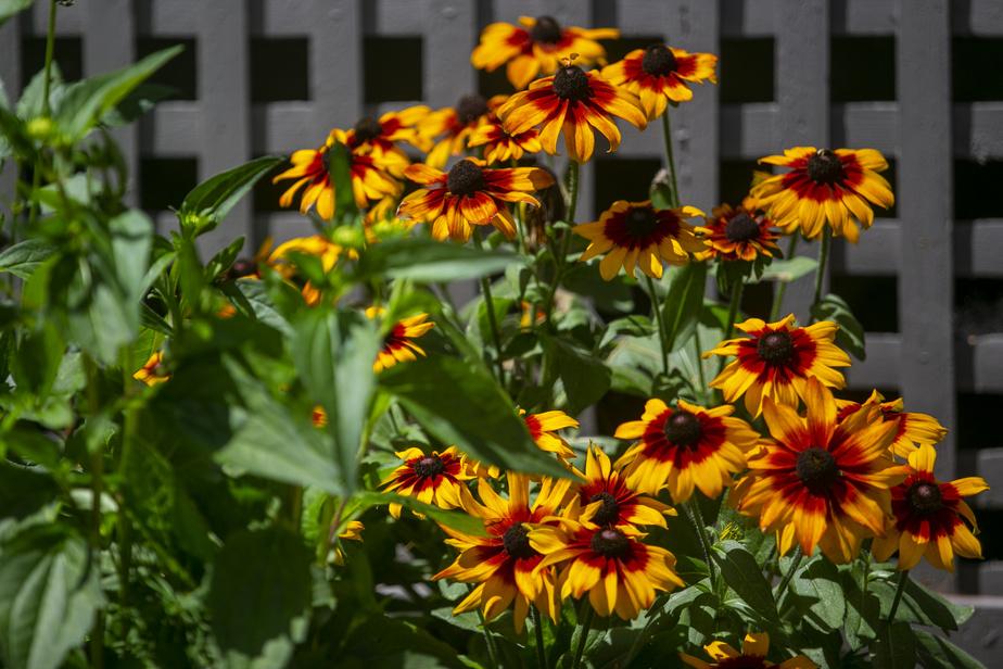 André Julien préfère les variétés de vivaces qui fleurissent longtemps, sont faciles d'entretien et résistent aux insectes, comme les rudbeckias.