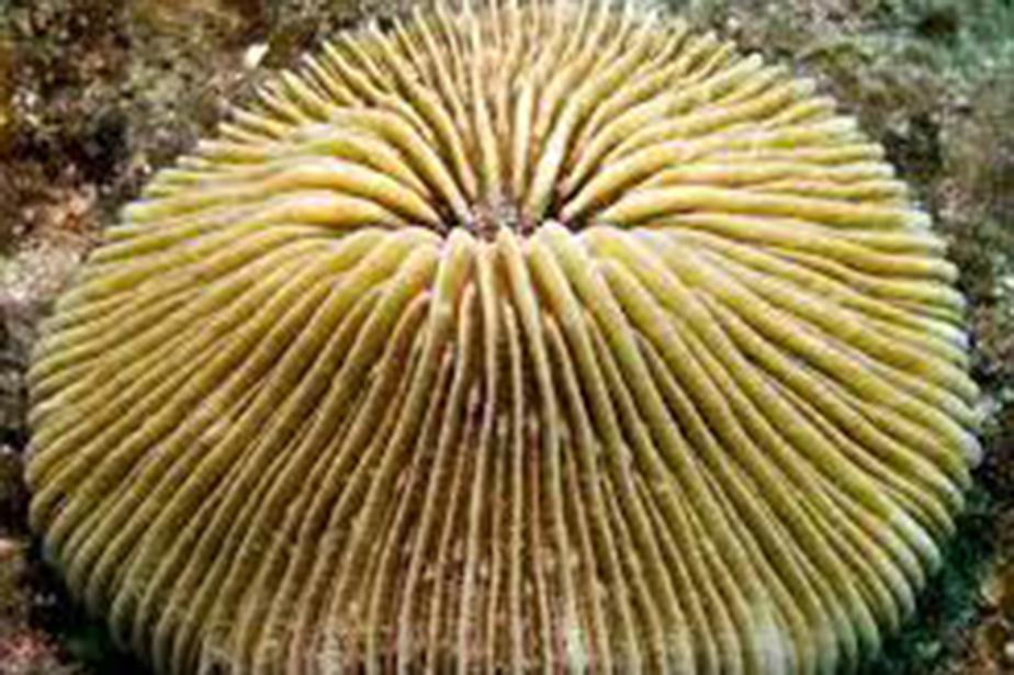 L'un des coraux de la base de données Corals of the World, de John Veron