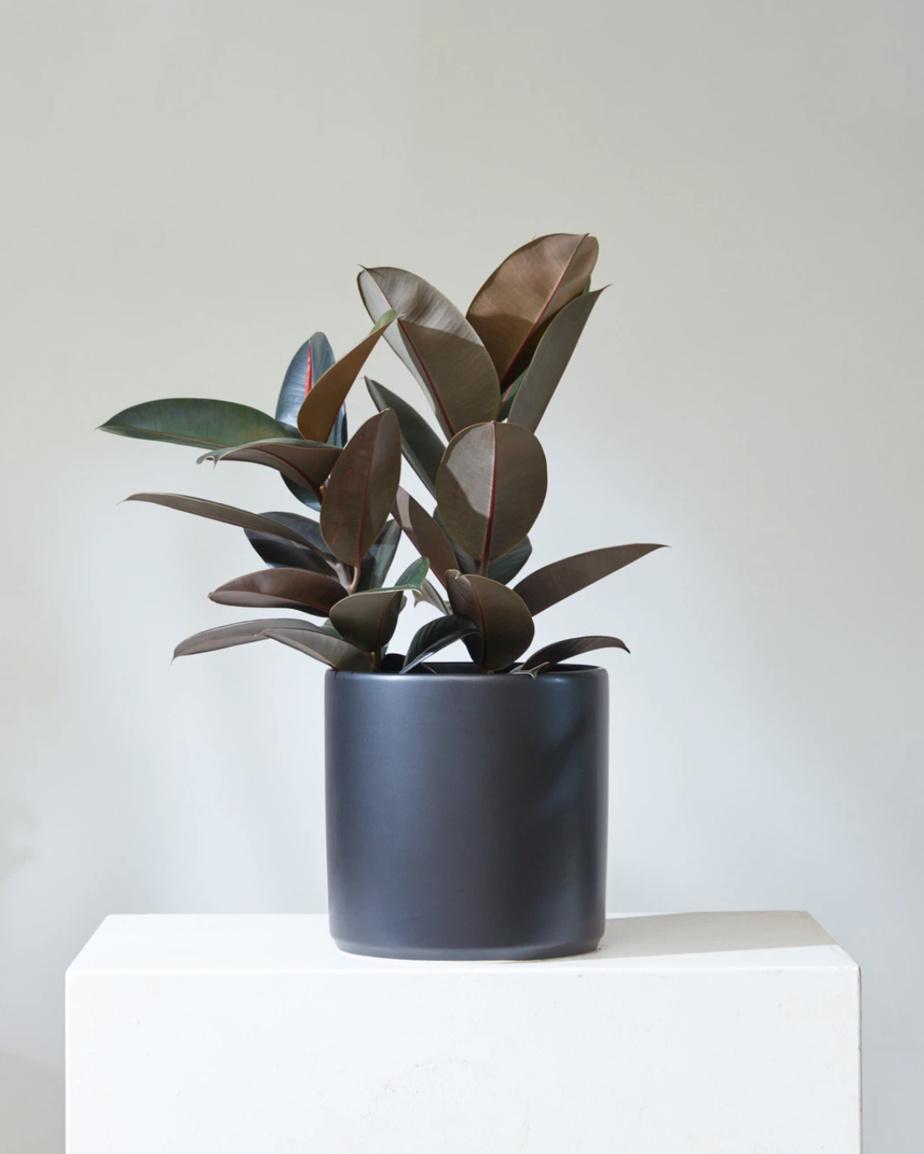 Le Ficus elastica (arbre à caoutchouc) est une espèce robuste qui demande peu de lumière et peu d'arrosage (d'une à trois fois par semaine, selon la saison).