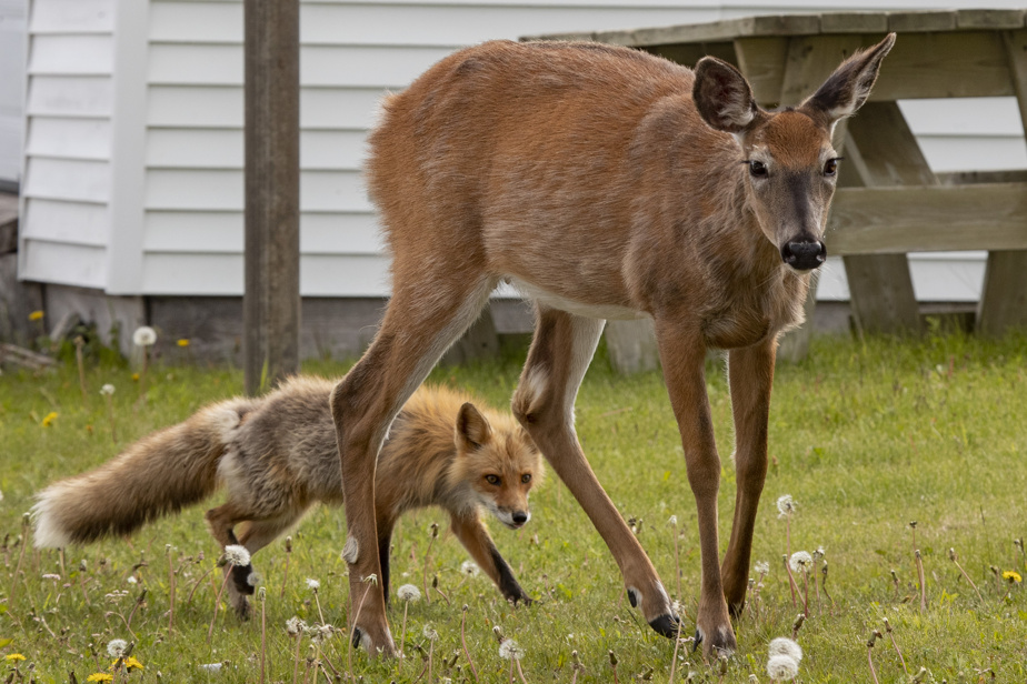 On retrouve plusieurs animaux au village, principalement des cerfs de Virginie et des renards.