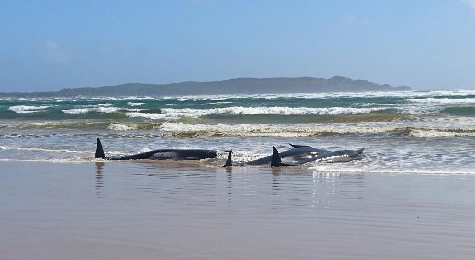 Des centaines de cétacés coincés dans une baie de Tasmanie — Australie