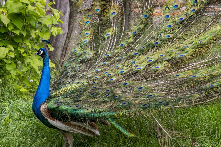 Séjour dans une Cool Box, les nouvelles mini maisons sur le site du parc Safari. Un paon montre son plumage.
