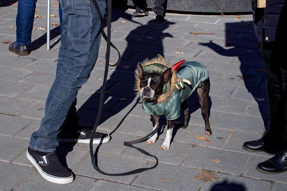 Devant l'Université McGill, rue Sherbrooke, Roméo, un petit chien de 6ans, profite du beau temps et de son déguisement d'Halloween.