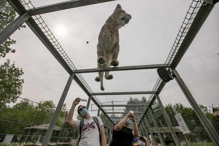 Les lions sautent littéralement sur les têtes des visiteurs pour aller chercher leur déjeuner.