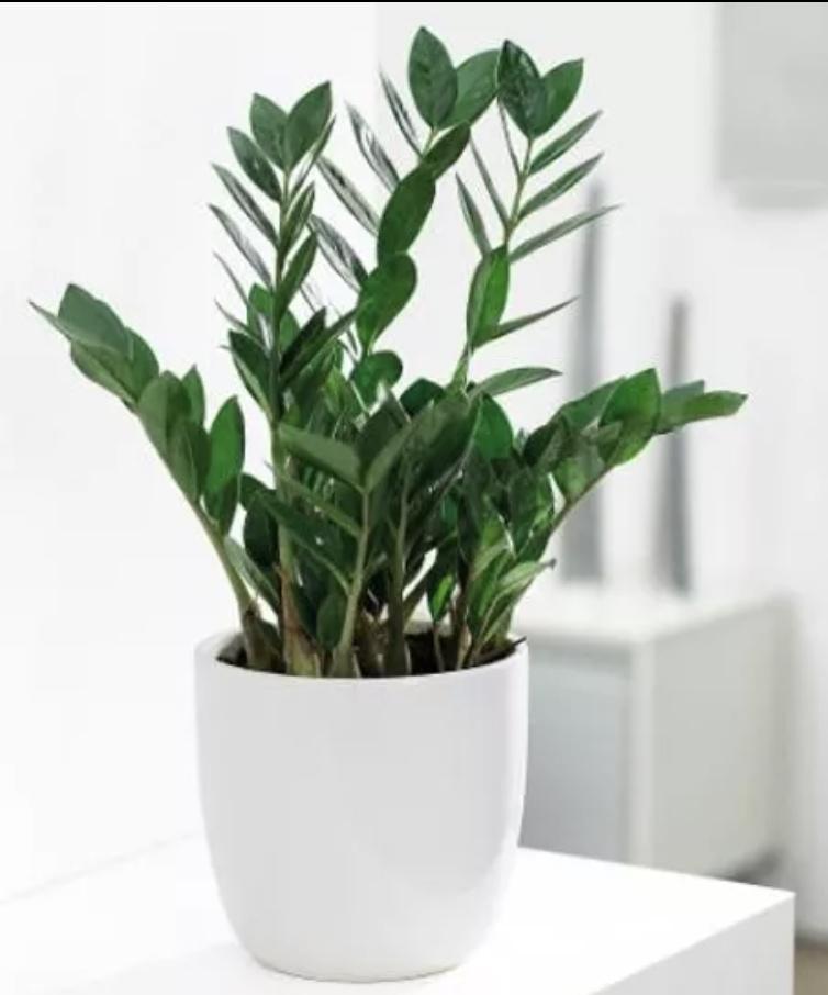 Zamioculcas zamiifolia: familièrement appelée ZZ, cette plante originaire d'Afrique de l'Est pousse tant à l'ombre que sous le soleil. On l'arrose chaque semaine l'été et toutes les deux ou trois semaines l'hiver. Même chose si l'environnement est climatisé durant la saison chaude.