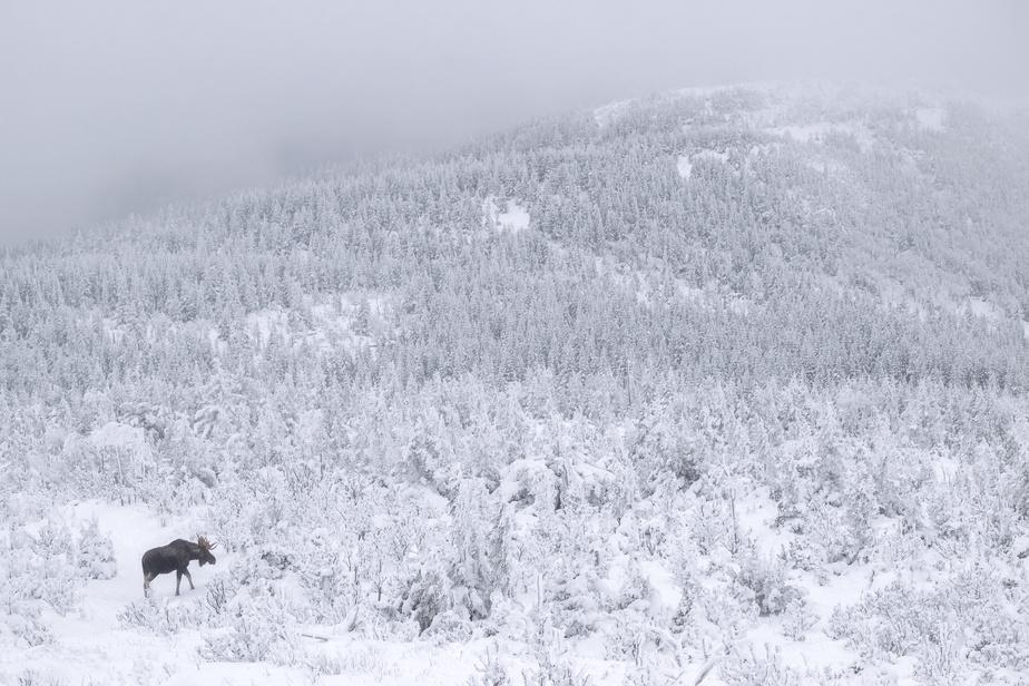 Il n'existe qu'une petite fenêtre pour observer les mâles orignaux sous la neige alors qu'ils arborent toujours leur panache. Celui-ci a probablement perdu le sien quelques jours après la prise de cette photo.