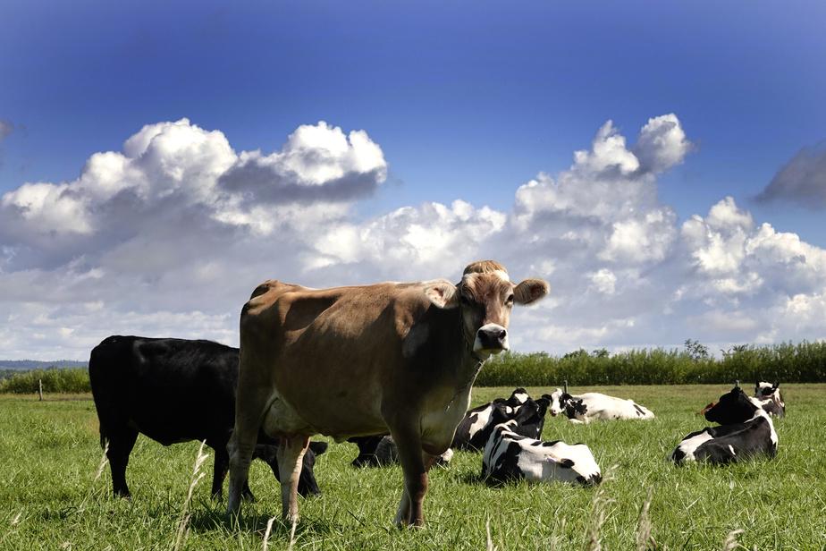 Dans les champs, les vaches, curieuses, lèvent la tête au passage des (rares) cyclistes.