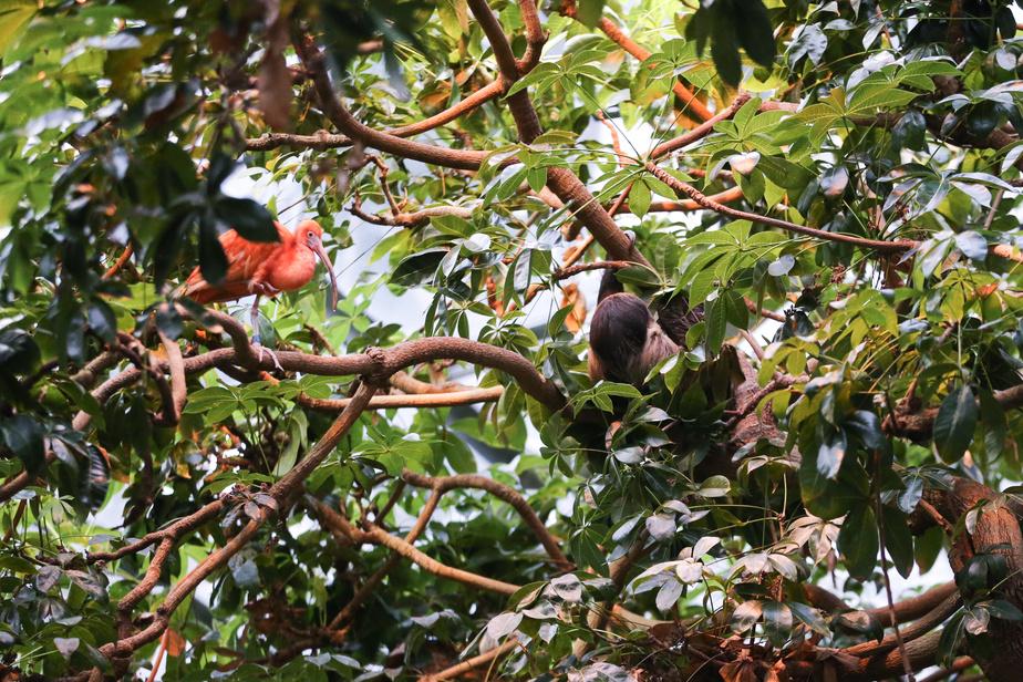 Cet ibis et ce paresseux peuvent être observés plus aisément du haut de la passerelle qui surplombe la forêt tropicale humide.